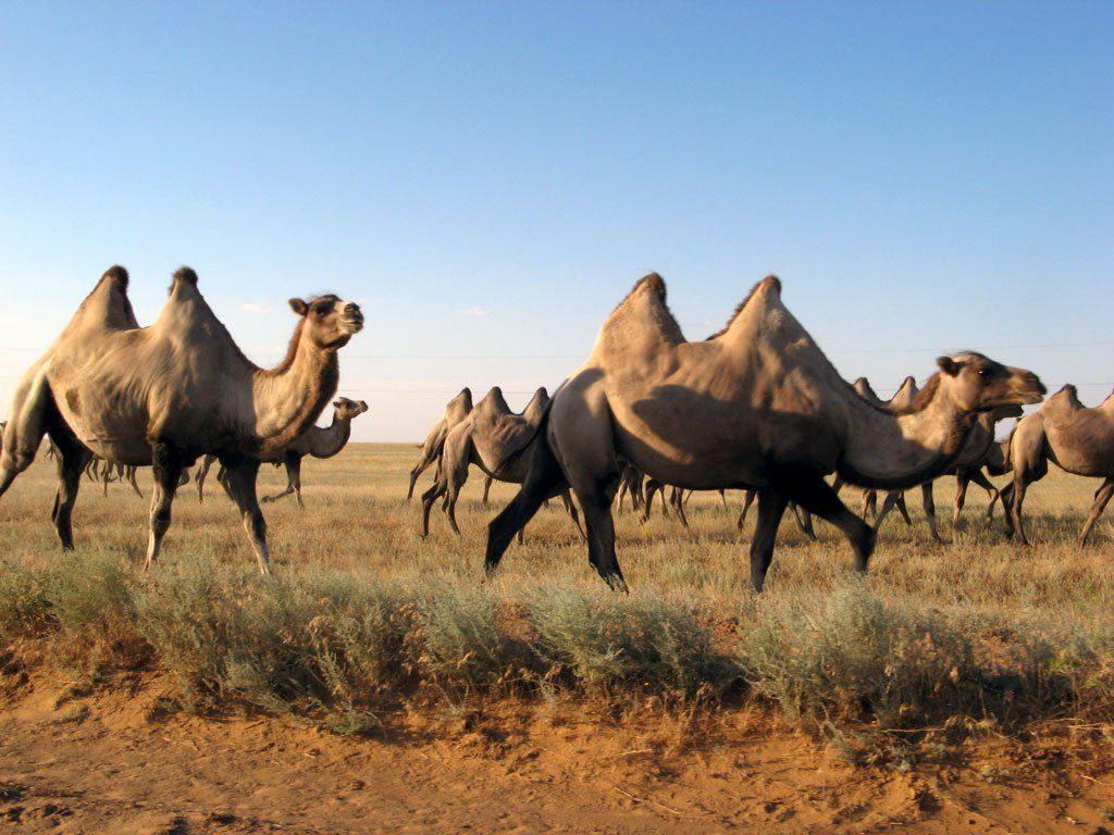 Верблюды в Калмыкии