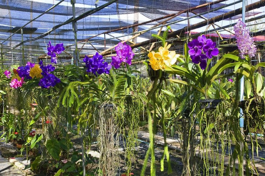 Ферма орхидей в Тайланде