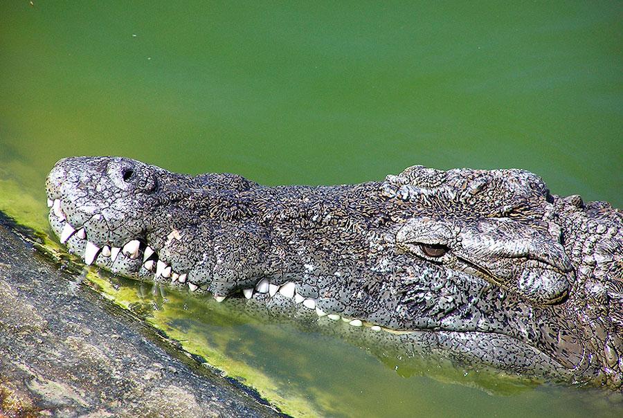 Крокодиловая-ферма-Джерба