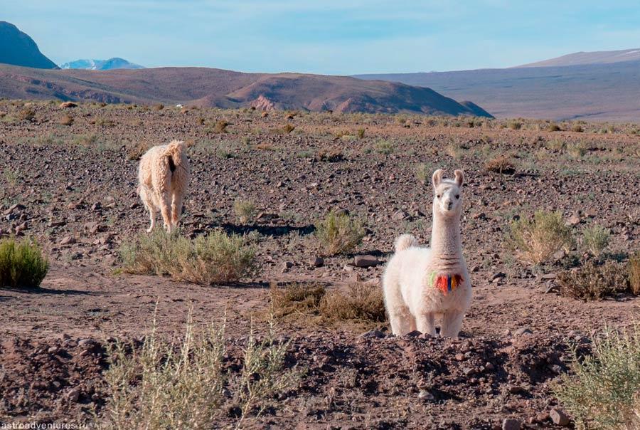 Ламы в Чили